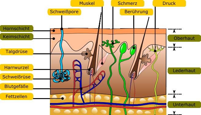 Sanitätsausbildung: Wundversorgung und Knochenbrüche - Anatomie und ...